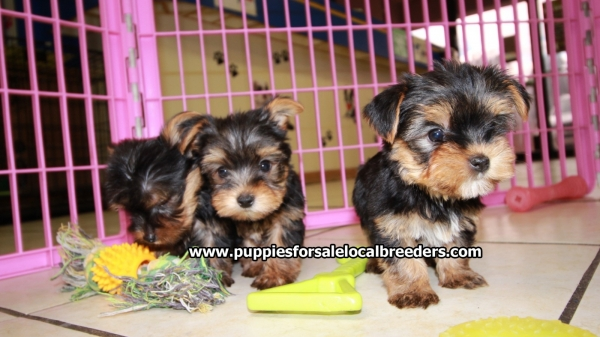 Perfect Tcup Yorkie Puppies For Sale, Georgia Local Breeders, Near Atlanta, Ga