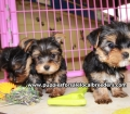 Teacup Yorkie puppies for sale Atlanta, Ga (1)