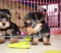 Teacup Yorkie puppies for sale Atlanta, Ga (2)