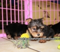 Teacup Yorkie puppies for sale Atlanta, Ga (3)