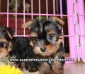 Teacup Yorkie puppies for sale Atlanta, Ga (5)