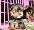 Teacup Yorkie puppies for sale Atlanta, Ga (7)
