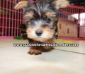 Teacup Yorkie puppies for sale Atlanta, Ga (9)