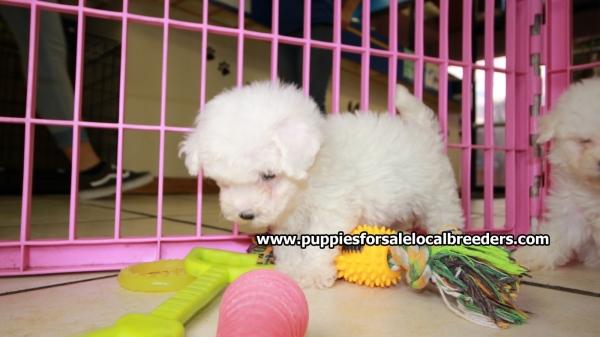 Beautiful little Bichon Frise Puppies For Sale, Georgia