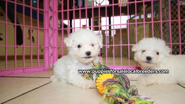Beautiful little Bichon Frise Puppies For Sale, Georgia