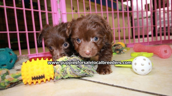 Lovely Chocolate MaltiPoo Puppies For Sale, Georgia Local Breeders, Near Atlanta, G