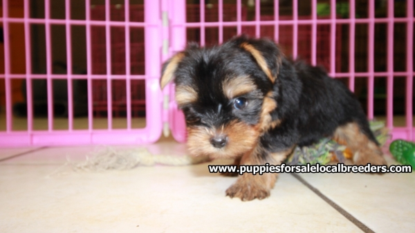 Super Cute Toy Yorkie Puppies For Sale, Georgia Local