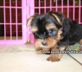 Toy Yorkie puppies for sale Atlanta, Ga (1)