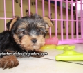 Toy Yorkie puppies for sale Atlanta, Ga (2)
