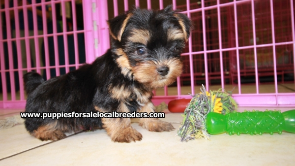 Super Cute Toy Yorkie Puppies For Sale, Georgia Local Breeders, Near Atlanta, Ga