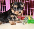 Toy Yorkie puppies for sale Atlanta, Ga (5)