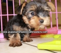Toy Yorkie puppies for sale Atlanta, Ga (6)