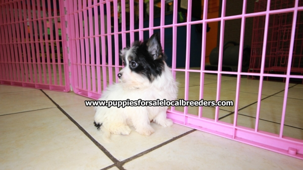 Rare Biewer Yorkie Puppies For Sale, Georgia Local Breeders