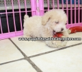 Toy Poodle puppies for sale in Ga (16)