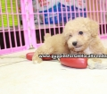 Toy Poodle puppies for sale in Ga (19)