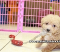 Toy Poodle puppies for sale in Ga (20)