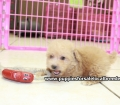Toy Poodle puppies for sale in Ga (22)