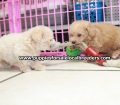 Toy Poodle puppies for sale in Ga (23)