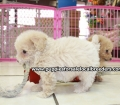 Toy Poodle puppies for sale in Ga (27)
