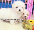 Maltese puppies for sale in Ga (12)