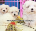 Maltese puppies for sale in Ga (14)