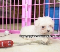 Maltese puppies for sale in Ga (16)