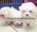 Maltese puppies for sale in Ga (1)