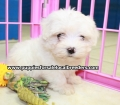 Maltese puppies for sale in Ga (21)