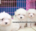Maltese puppies for sale in Ga (3)