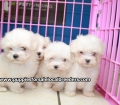 Maltese puppies for sale in Ga (4)