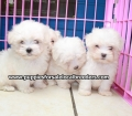 Maltese puppies for sale in Ga (5)
