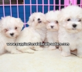 Maltese puppies for sale in Ga (6)