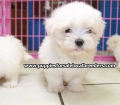 Maltese puppies for sale in Ga (9)