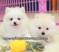 Pomeranian puppies for sale in Ga (15)