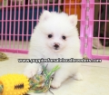 Pomeranian puppies for sale in Ga (16)