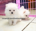 Pomeranian puppies for sale in Ga (3)