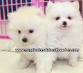 Pomeranian puppies for sale in Ga (4)