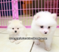 Pomeranian puppies for sale in Ga (6)
