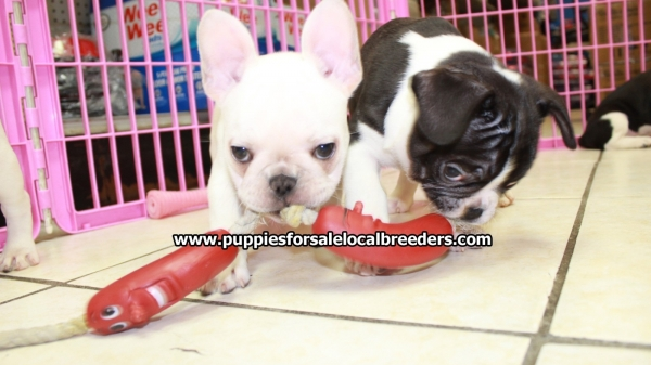 French Bulldog Puppies For In Ga 6