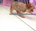 Red Morkie puppies for sale in Ga (10)