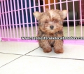 Red Morkie puppies for sale in Ga (2)