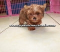 Red Morkie puppies for sale in Ga (8)