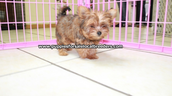 Rare Red Morkie Puppies For Sale, Georgia Local Breeders, Near Atlanta, Ga