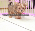 Red Morkie puppies for sale in Ga (9)