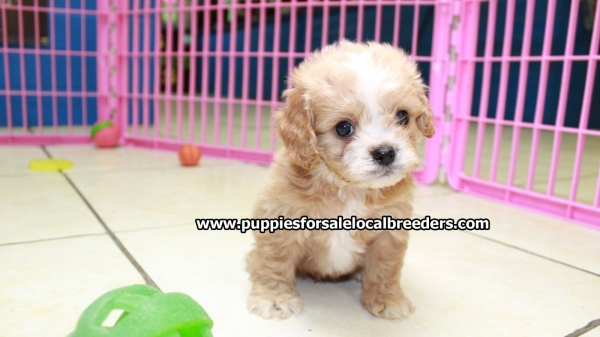Gorgeous Cavapoo Puppies For Sale In Georgia at - Puppies