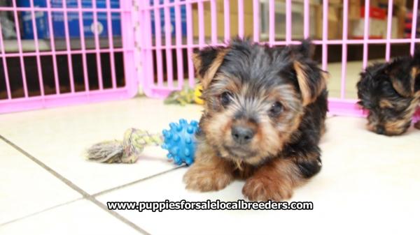 Lovely Yorkie Puppies For Sale Georgia Local Breeders Near Atlanta