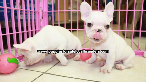 Lovely Cream French Bulldog Puppies For Sale, Georgia Local
