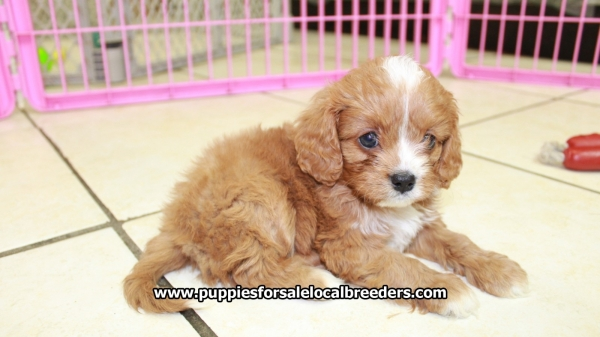 Ruby Red Cavapoo Puppies For Sale In Georgia at - Puppies
