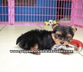 Yorkie puppies for sale in Georgia (12)