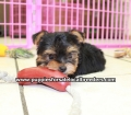 Yorkie puppies for sale in Georgia (7)